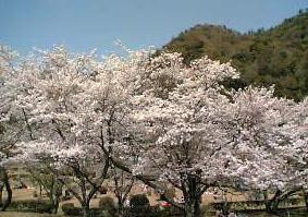 5日の桜☆5