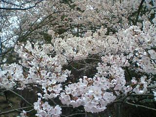 吉野桜.jpg