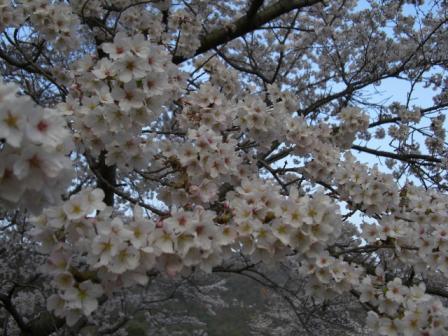桜桜桜 089.JPG