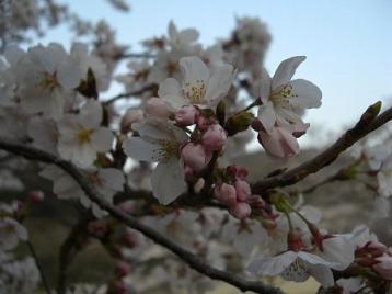 桜 九分咲.jpg