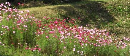 秋桜2010.jpg