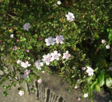 秋の紫丁花