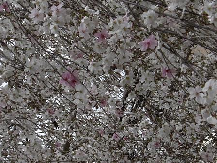 降り注ぐやうな六角堂の枝垂桜.jpg