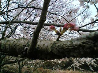 2日の桜☆4