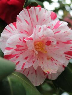 冬の寒さの中で咲く寒椿