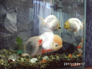 金魚 タンチョウ.jpg