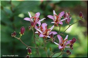 落ち着いた色のホトトギスの花