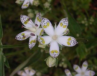 入笠湿原の花
