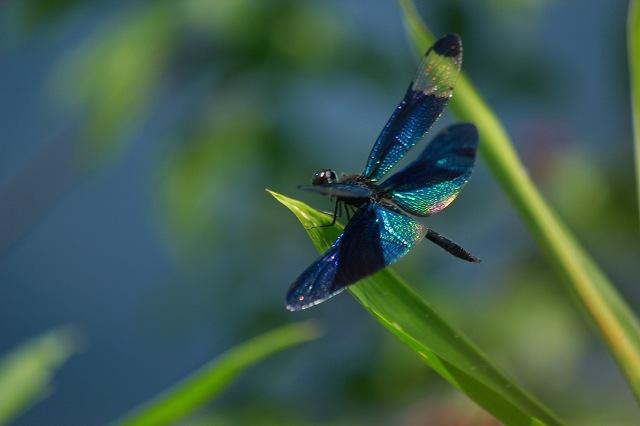 丸太村 古代村の方から聞いたんですが蝶トンボと言うらしいです。 きらきら輝いて... 古代蓮~周