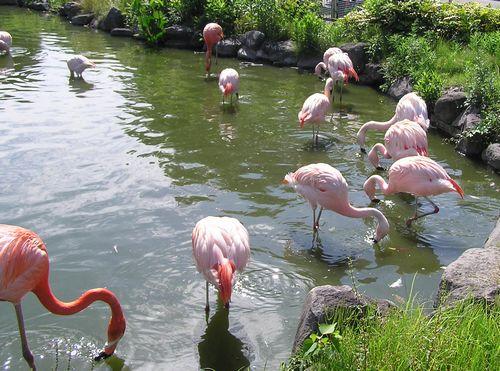 東武動物公園-フラミンゴ