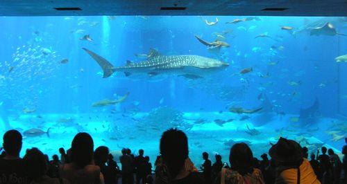 美ら海水族館-ジンベイ1