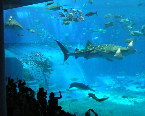 美ら海水族館-ジンベイ2