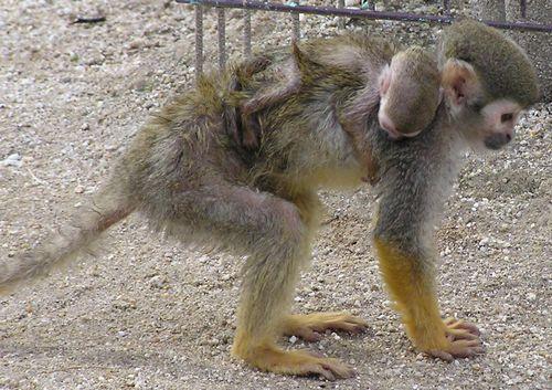 東武動物公園-リスザル親子