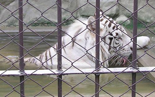 東武動物公園-ホワイトタイガー