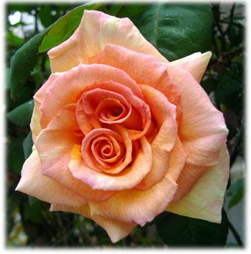 2つつむじのバラ 花芯が2つある、我が家のバラ このバラ、名前がわかりません。 どなたか...