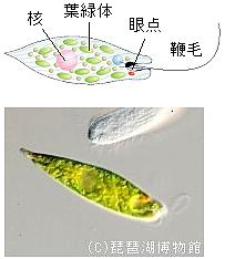 ミドリムシ 細胞小器官