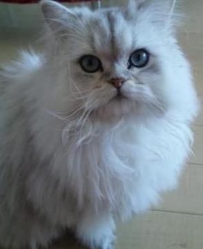 le chat blanc