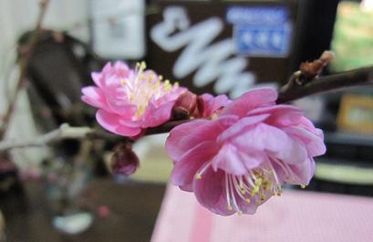 20100115iwamotoyama_ume_4