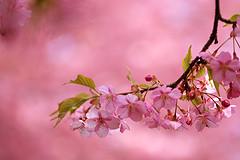桜5.jpg