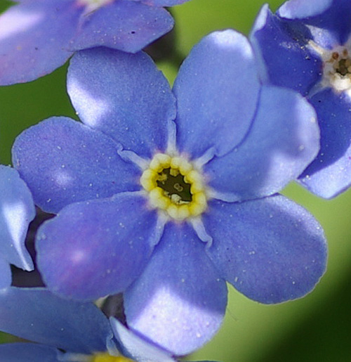 ワスレナグサの画像 p1_31