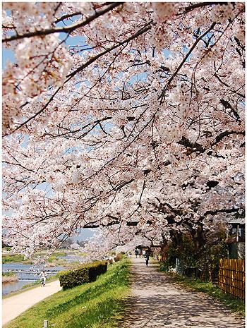 鴨川の桜前線.jpg