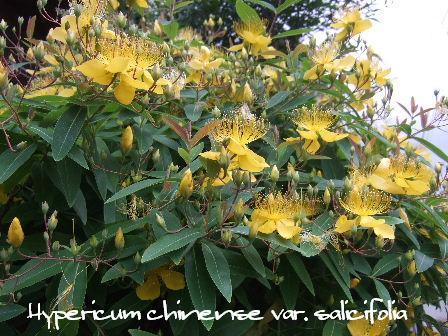 Hypericum chinense var. salicifolia1.JPG