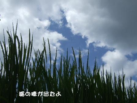 稲の穂が出たよ.JPG