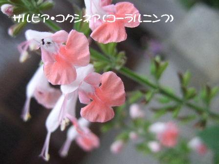サルビア・コクシネア(コーラルニンフ).JPG