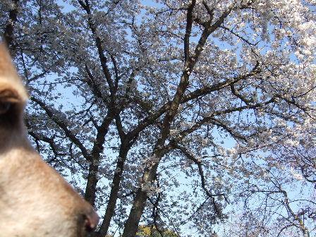 菫&桜.JPG