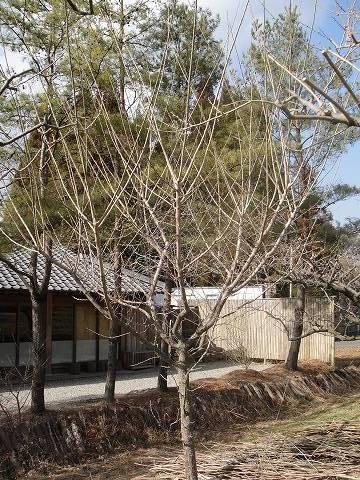 立ち木仕立ての梅