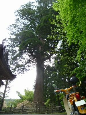 蓮花寺の大杉