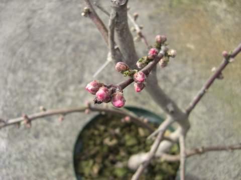 照手水蜜の花芽