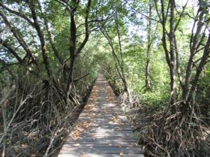 うっそうと茂るマングローブ林の中をチャリで疾走!