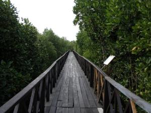 橋を歩いてマングローブ林の中を散策できます。
