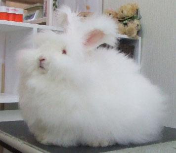 アンゴラウサギの画像 p1_4