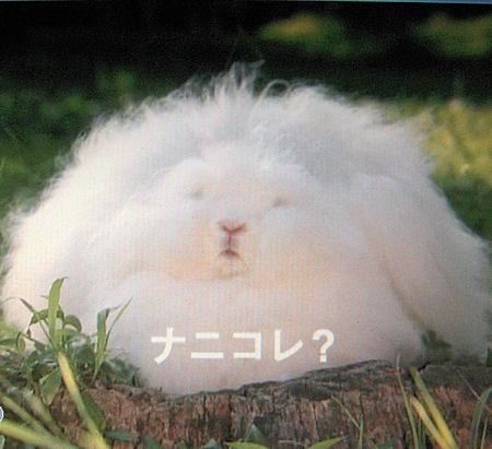 アンゴラウサギの画像 p1_1
