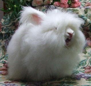 アンゴラウサギの画像 p1_19