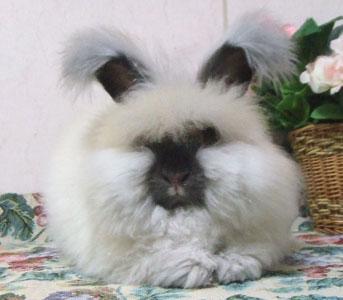 アンゴラウサギの画像 p1_5