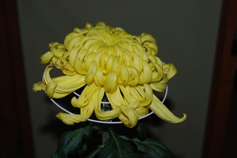 菊の画像 p1_16