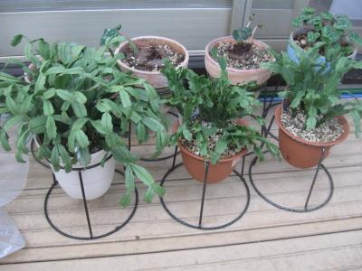植え 替え シャコバサボテン シャコバサボテンの育て方 ヤサシイエンゲイ