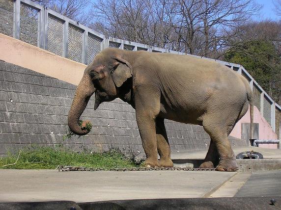 アジアゾウの画像 p1_7