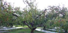 りんご狩り 原田農園