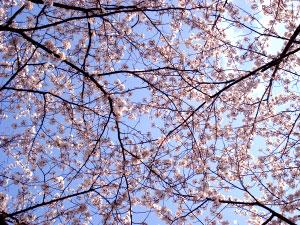 07桜15