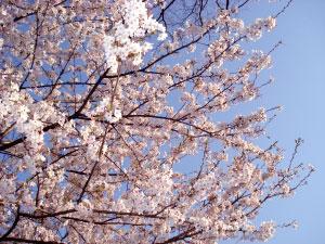 07桜19