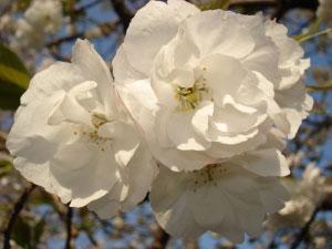 07桜20