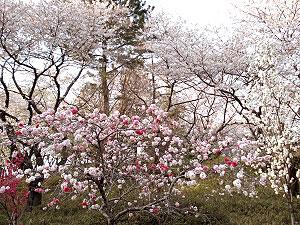 07桜21