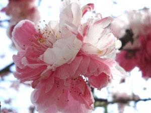 07桜22