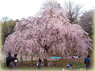 枝垂桜2008