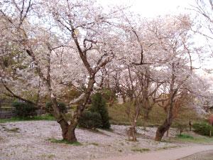 07桜24