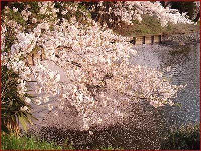 2009桜01